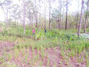LOPO Kebun warga di lahan bekas tambang saga 090412
