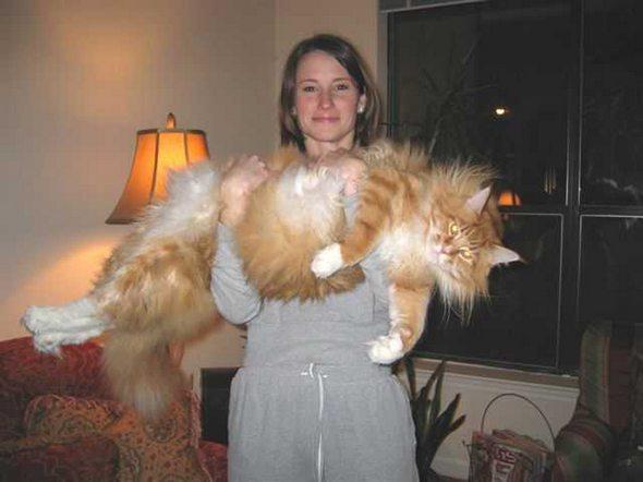 Video Kucing Persia Yang Menarik Untuk Dijual 2011