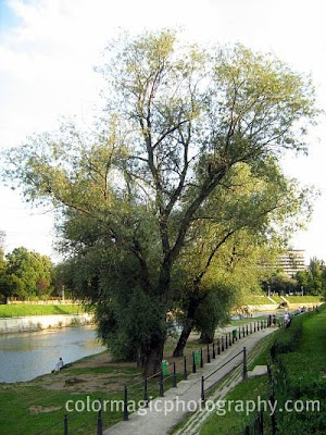 Ganoderma infested White willows near the river