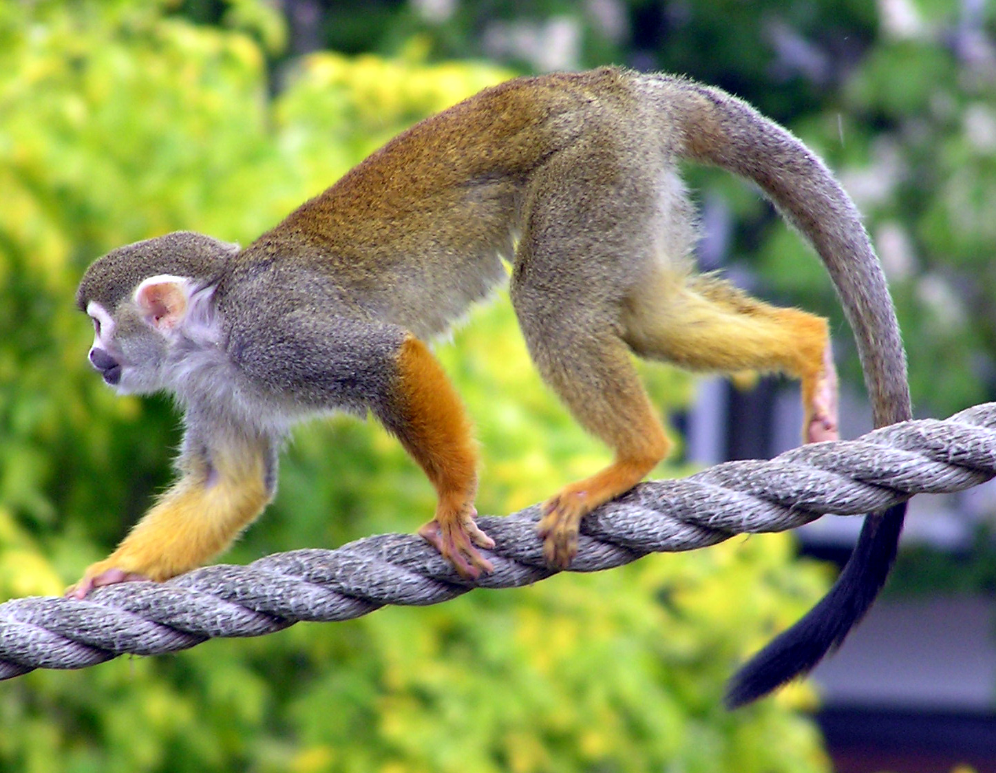 squirrel monkey the life of animals