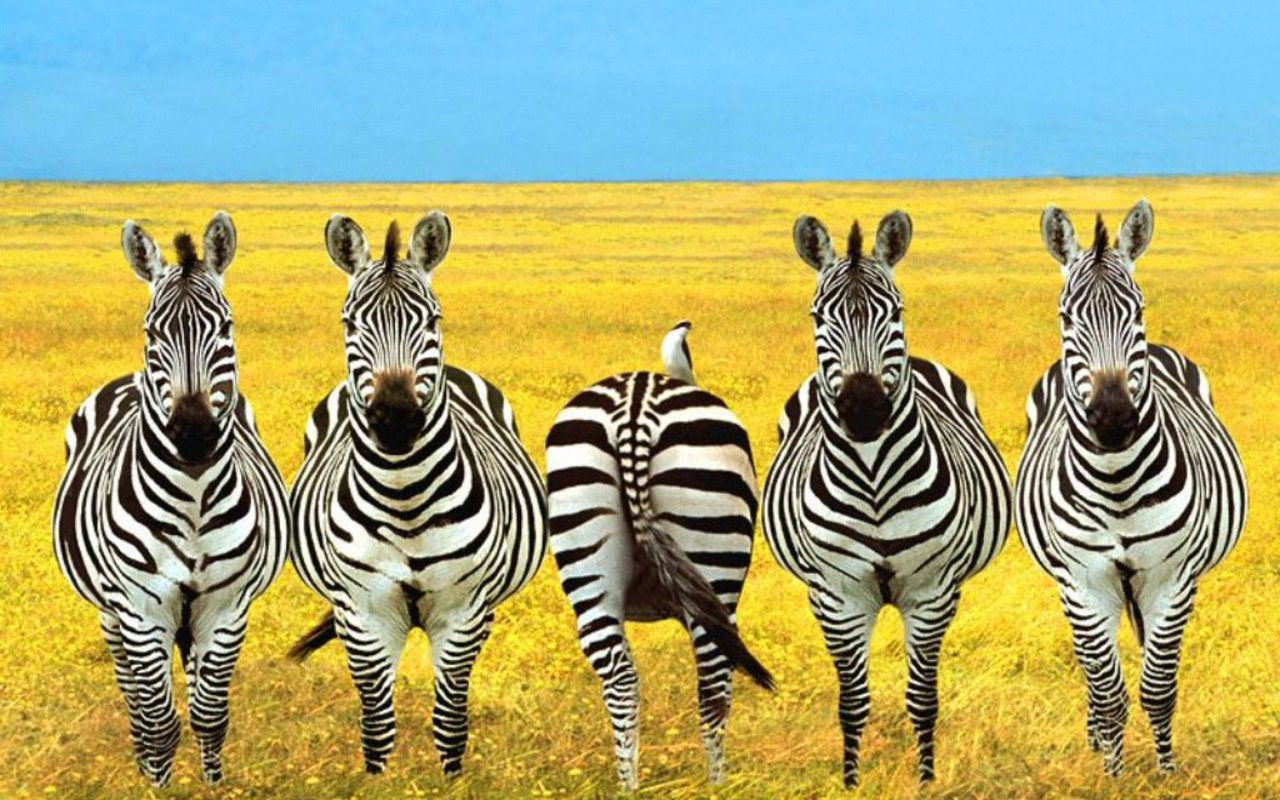 http://2.bp.blogspot.com/-jOrPMCrBeDM/TVvIG-qCxCI/AAAAAAAAIUQ/I7-guXjPstw/s1600/zebras+wallpapers+%25286%2529.jpg