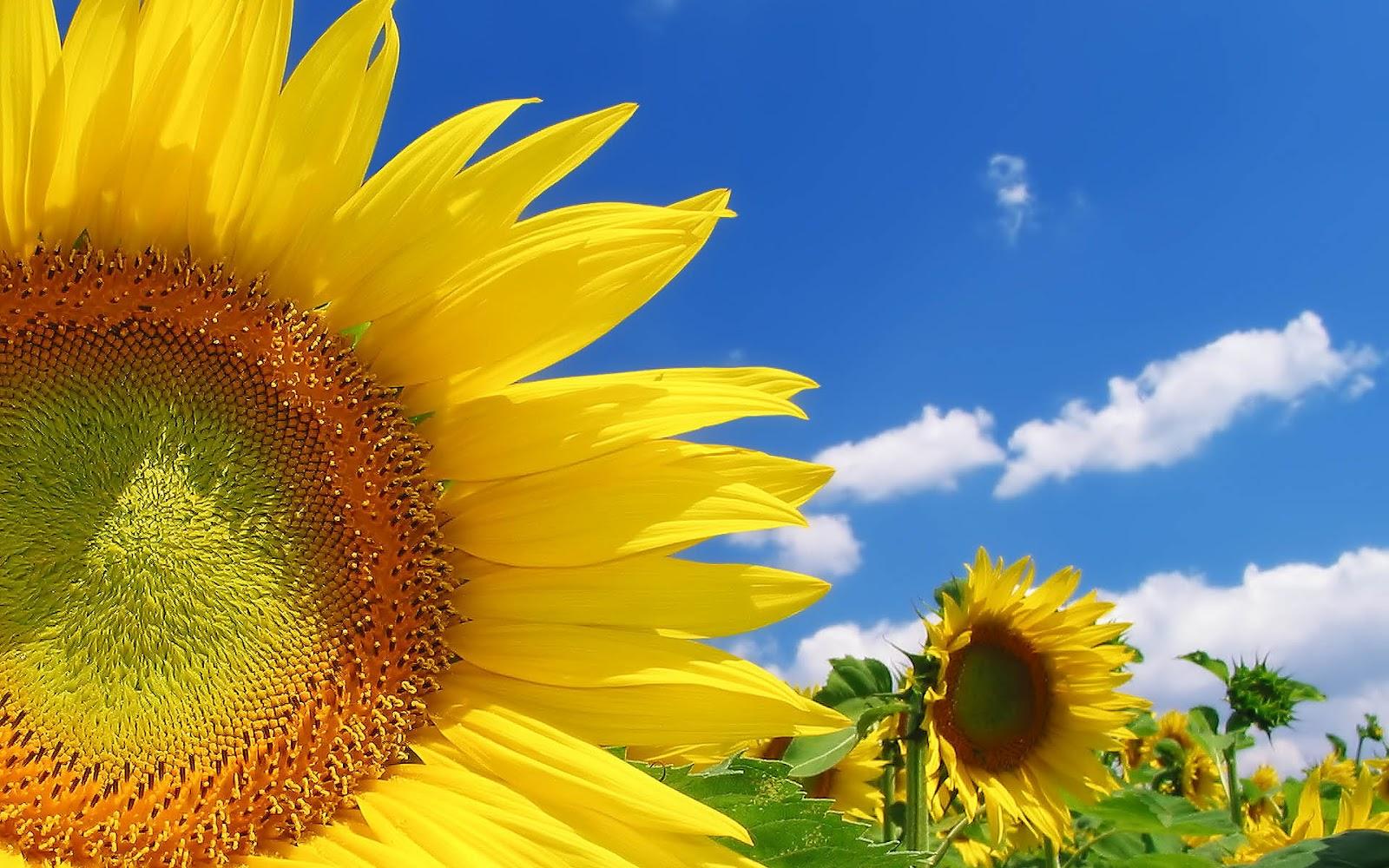 Zonnebloemen achtergronden hd wallpapers for Foto top
