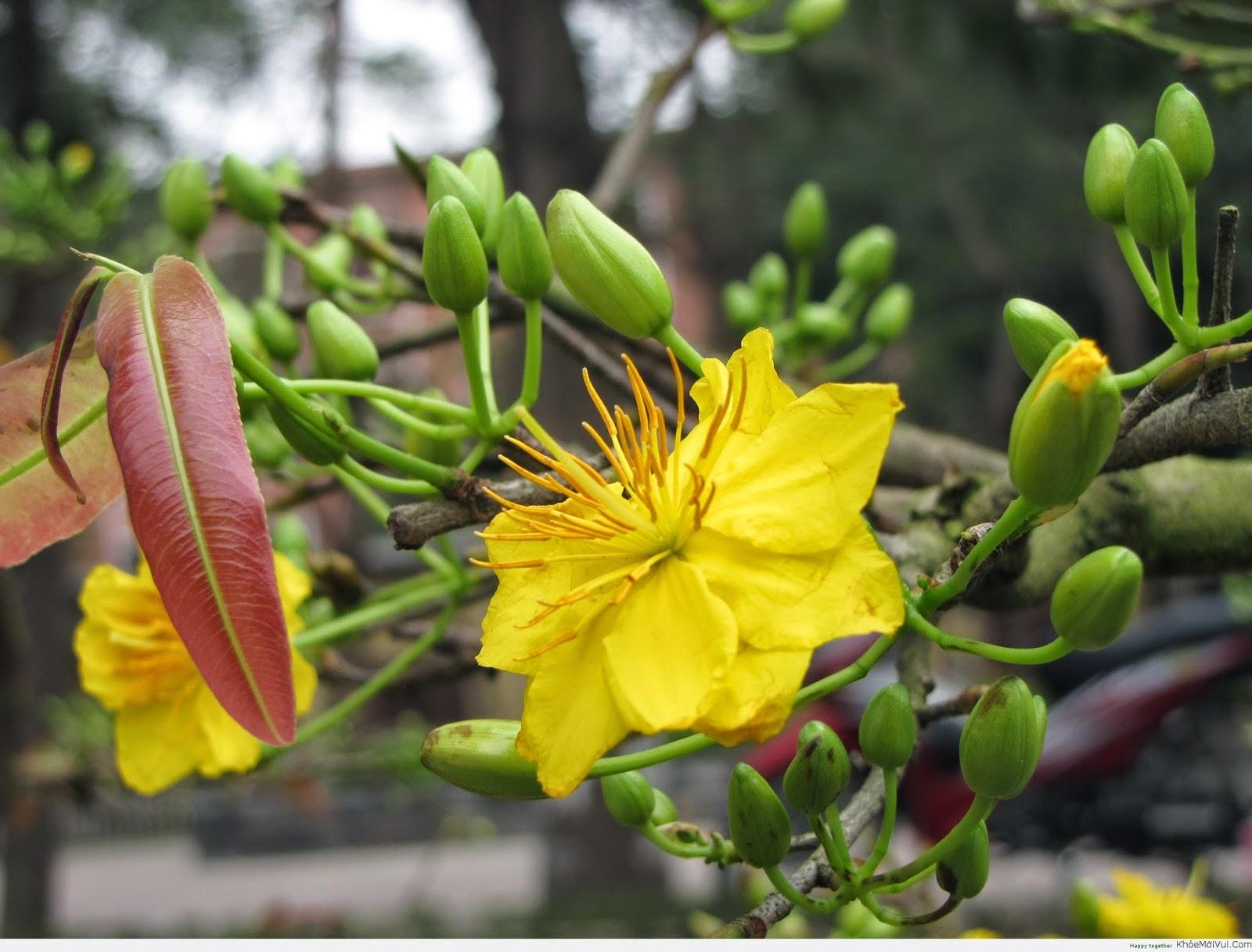 Tuy nhiên, chỉ có hoa mai nở trong dịp Tết, người dân mới cảm nhận được ý nghĩa sâu đậm của hoa mai trong không khí của ngày Tết mà thôi.