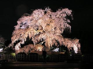 Luz de oscuridad el cerezo japones sakura for Arboles japoneses para jardin