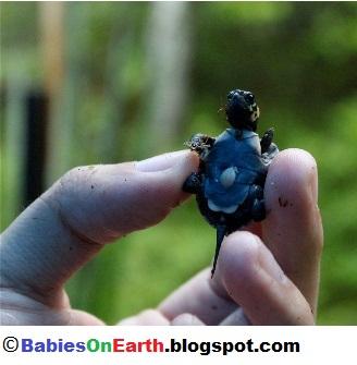 Baby Bog Turtle