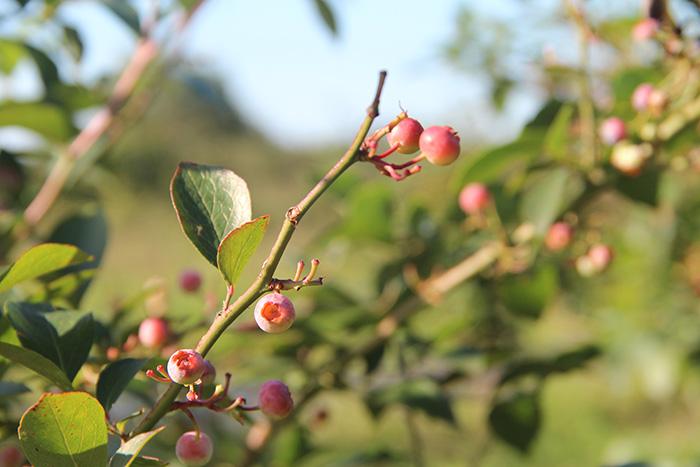 el malain asturias frutos rojos