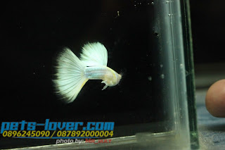 Albino Platinum Gold, fish tropical, endlers guppies, baby guppy, nickelodeon bubble guppies, guppy fish tank, guppy types, guppy fish types, guppy diseases, the binding of isaac 2, isaac the binding, wild guppies, wild guppy, fantail guppies, guppy pregnancy, lyretail guppy, pregnant guppy stages, guppy pregnant, male and female guppies, bubble guppys, guppy birth, do guppies need a heater, pictures of guppies, guppy fish life span, guppy water temperature, show guppies, black guppy, red guppy, binding isaac wiki, binding of isaac 2, moscow guppy, guppy forum,