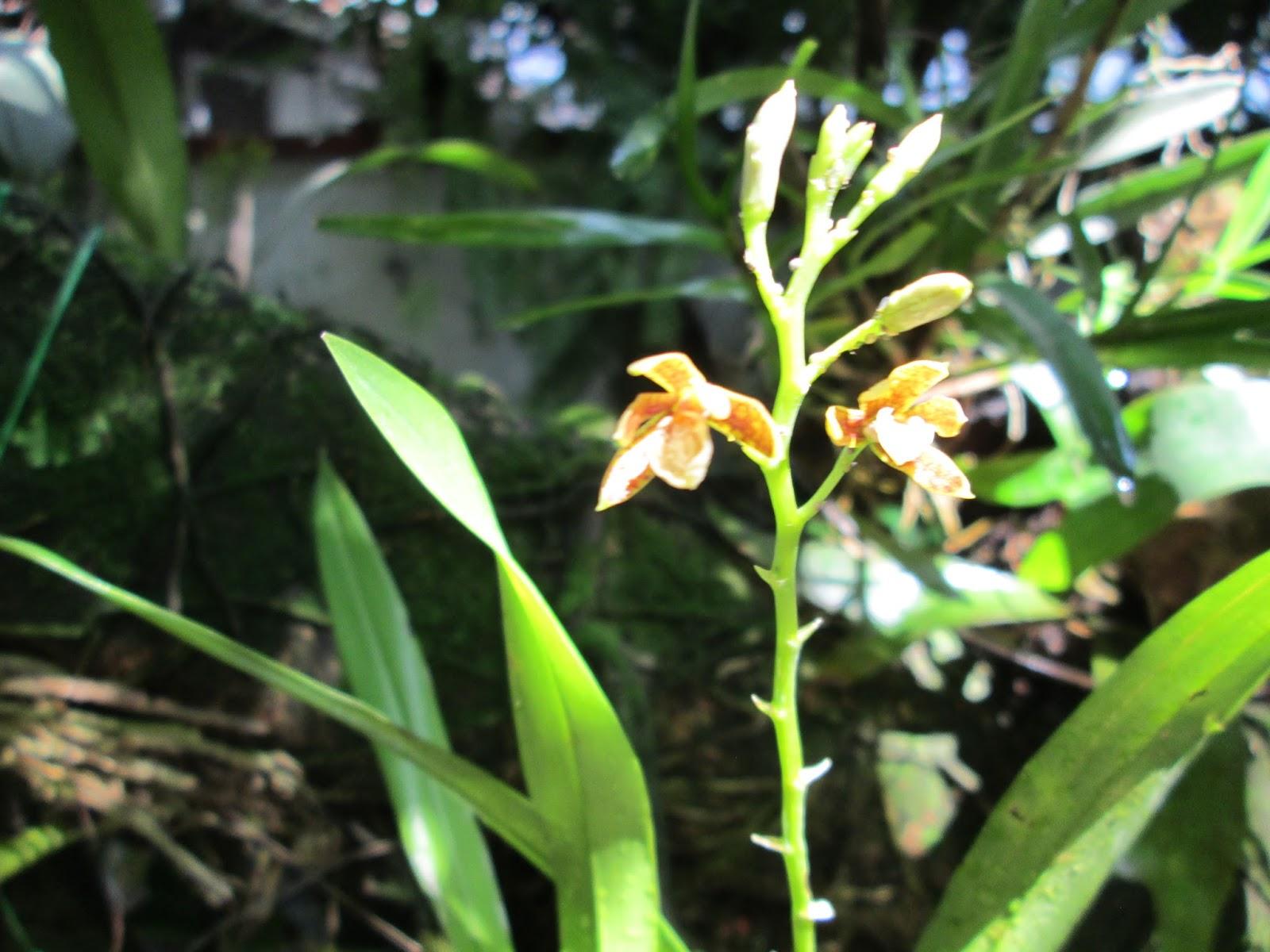 Orqu deas de mi jard n epidendrum for Cuidado de las orquideas moradas