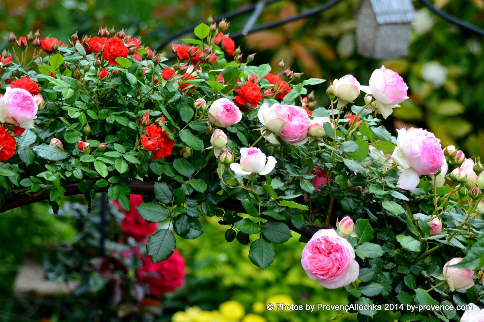 rose, grimpant ,Pierre ,de ,Ronsard,bouquet