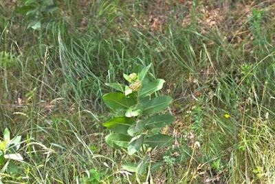 common milkweed developing blossoms