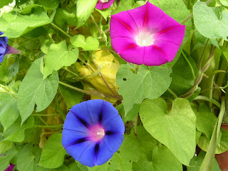 Amazing Ipomoea Purpurea