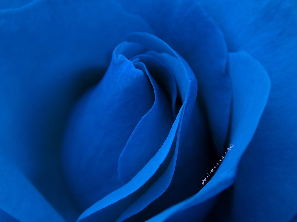 hd wallpaper of blue rose hd wallpapers