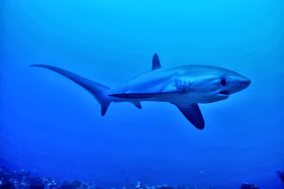 Thresher shark at Monad Shoal, Malapascua Exotic Island Dive Resort