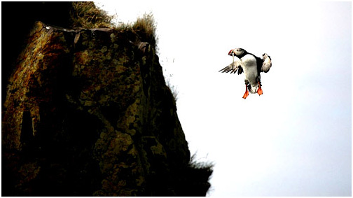 puffins pictures