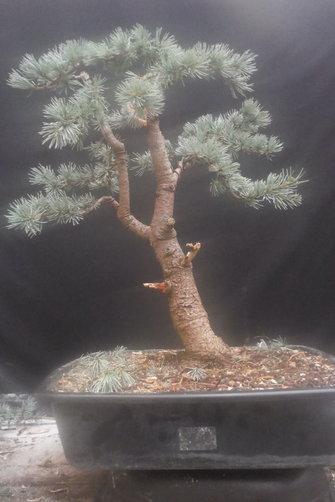 cedrus atlantica glauca bonsai