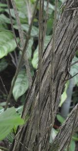 tronco del oregano