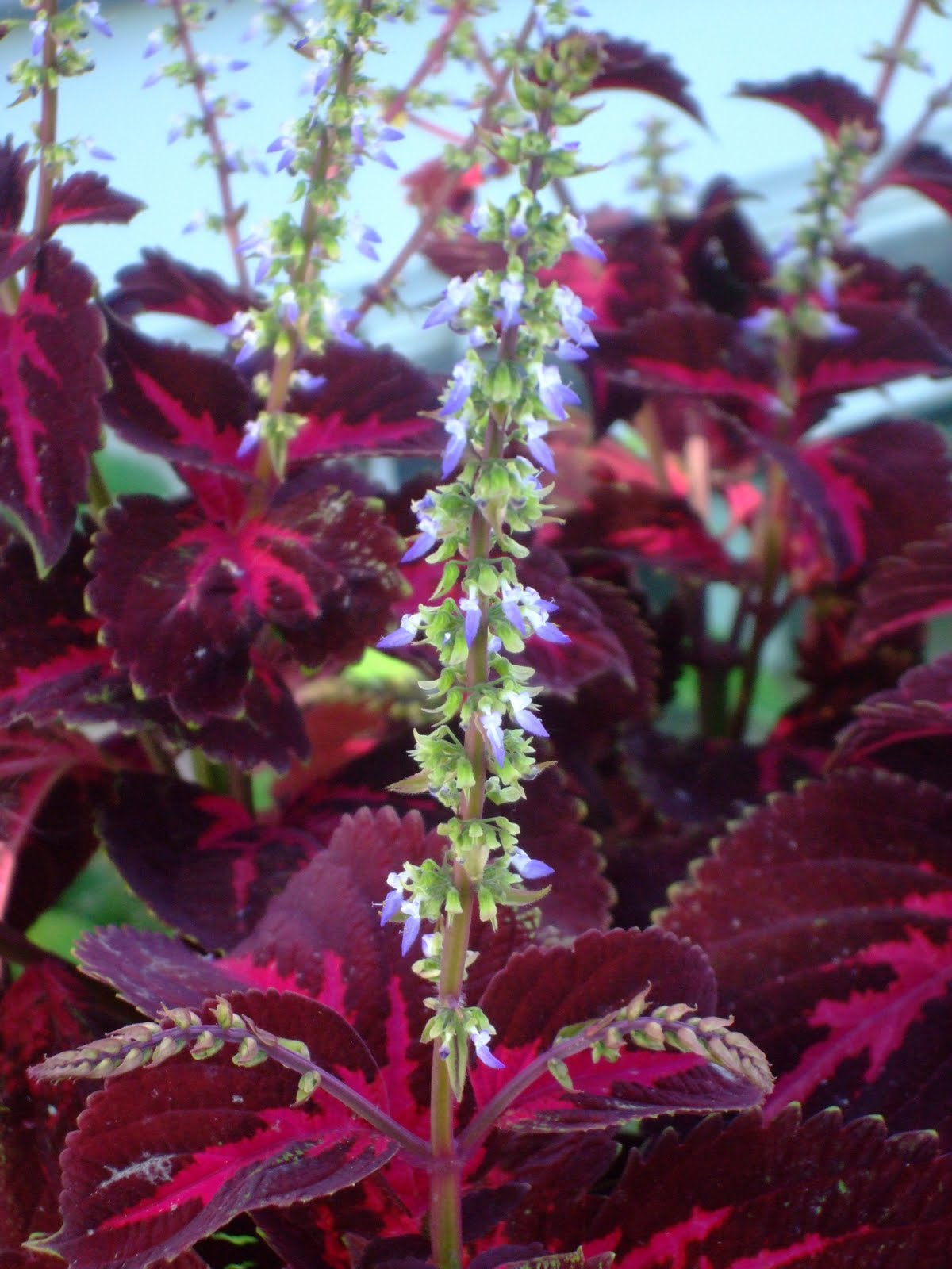yes, i talk to plants colorful coleus, Beautiful flower