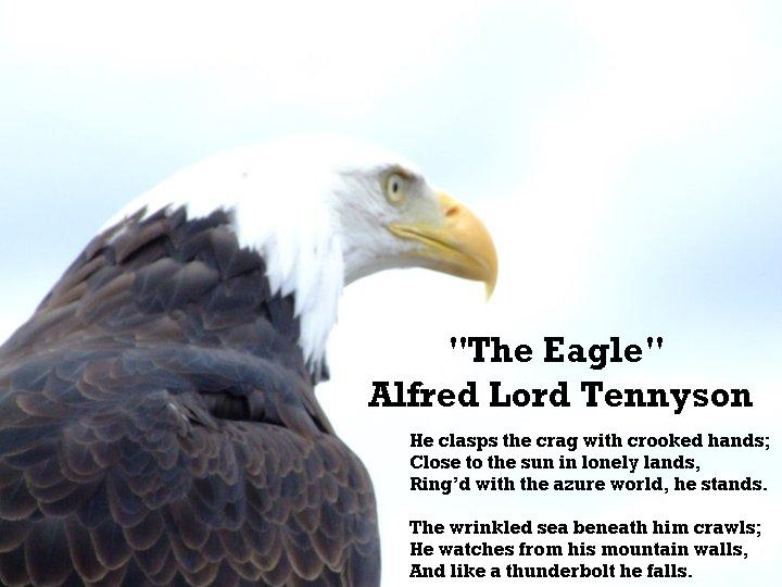"""eagle alfred lord tennyson essay Critical analysis of the eagle by lord tennyson the name of the poem i am writing about is called """"the eagle"""" by alfred, lord tennyson it is in figurative language form."""