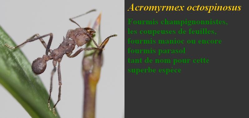 Acromyrmex octospinosus