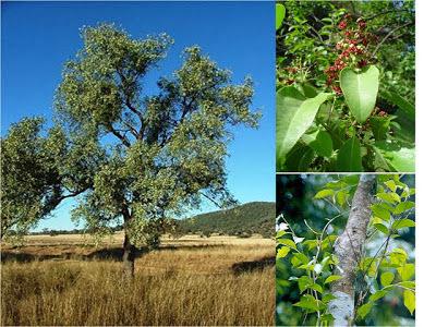 Aneka Khasiat Pohon Cendana
