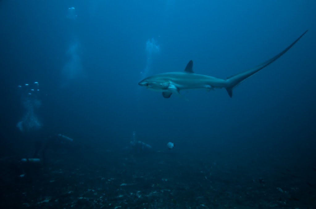 Thresher shark and divers at Monad Shoal