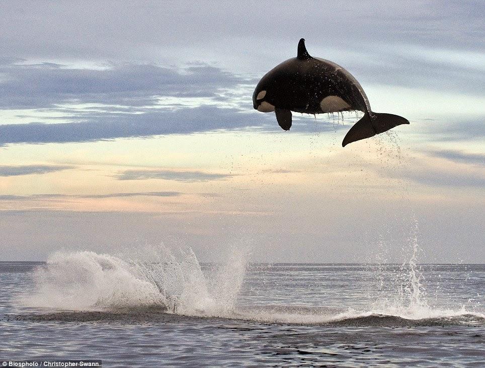 orca insegue delfino