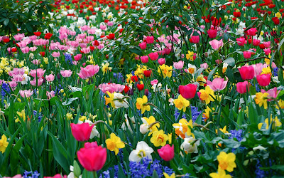 Fullcolors Tulips Flower Wallpapers