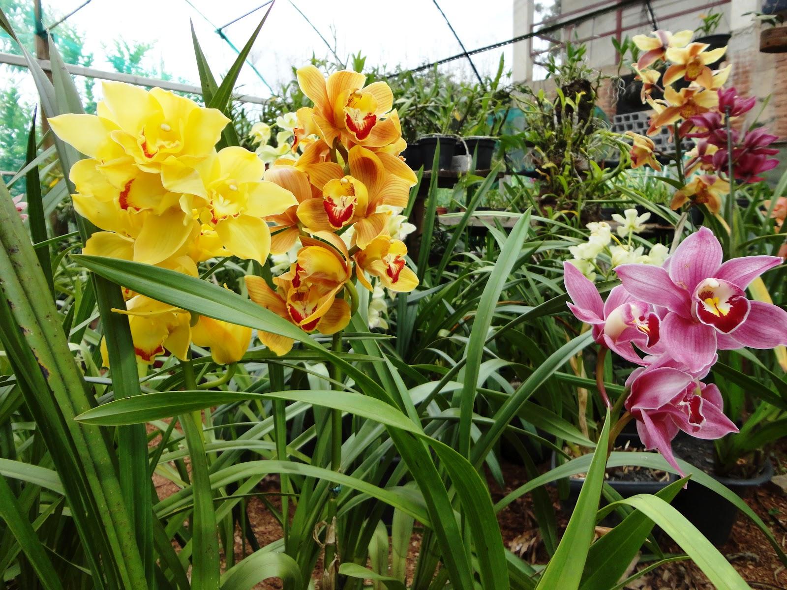 Estas Orquídeas cuentan con pseudobulbos, que son pequeñas estructuras compactas formadas básicamente por tejidos de reserva y de los que dependen tanto las