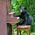Beruang ini Hobi Bermain Piano
