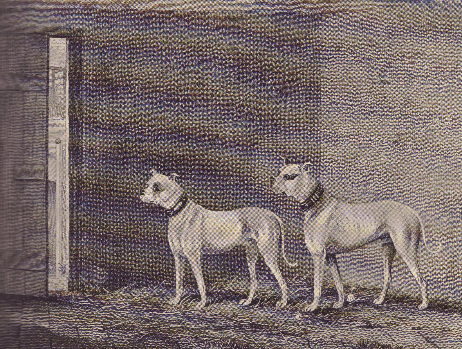 History of pit bulls in england