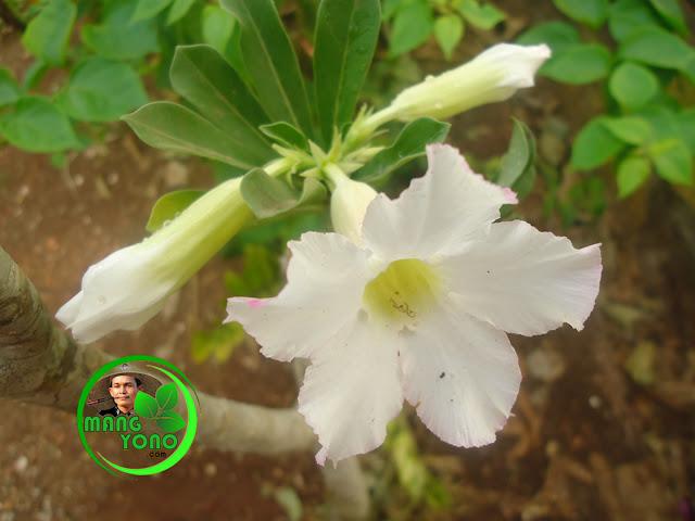 Bunga Adenium / Kamboja Jepang satu cabang berbunga putih