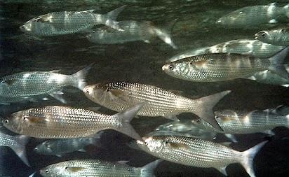 umpan ikan belanak laut,paling jitu,ampuh,umpan mancing ikan belanak,rahasia umpan belanak,cara membuat umpan ikan belanak,ikan belanak di kolam,cara mancing ikan belanak,resep umpan,racikan umpan,