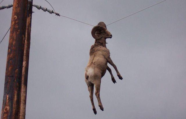 cabra cabrona