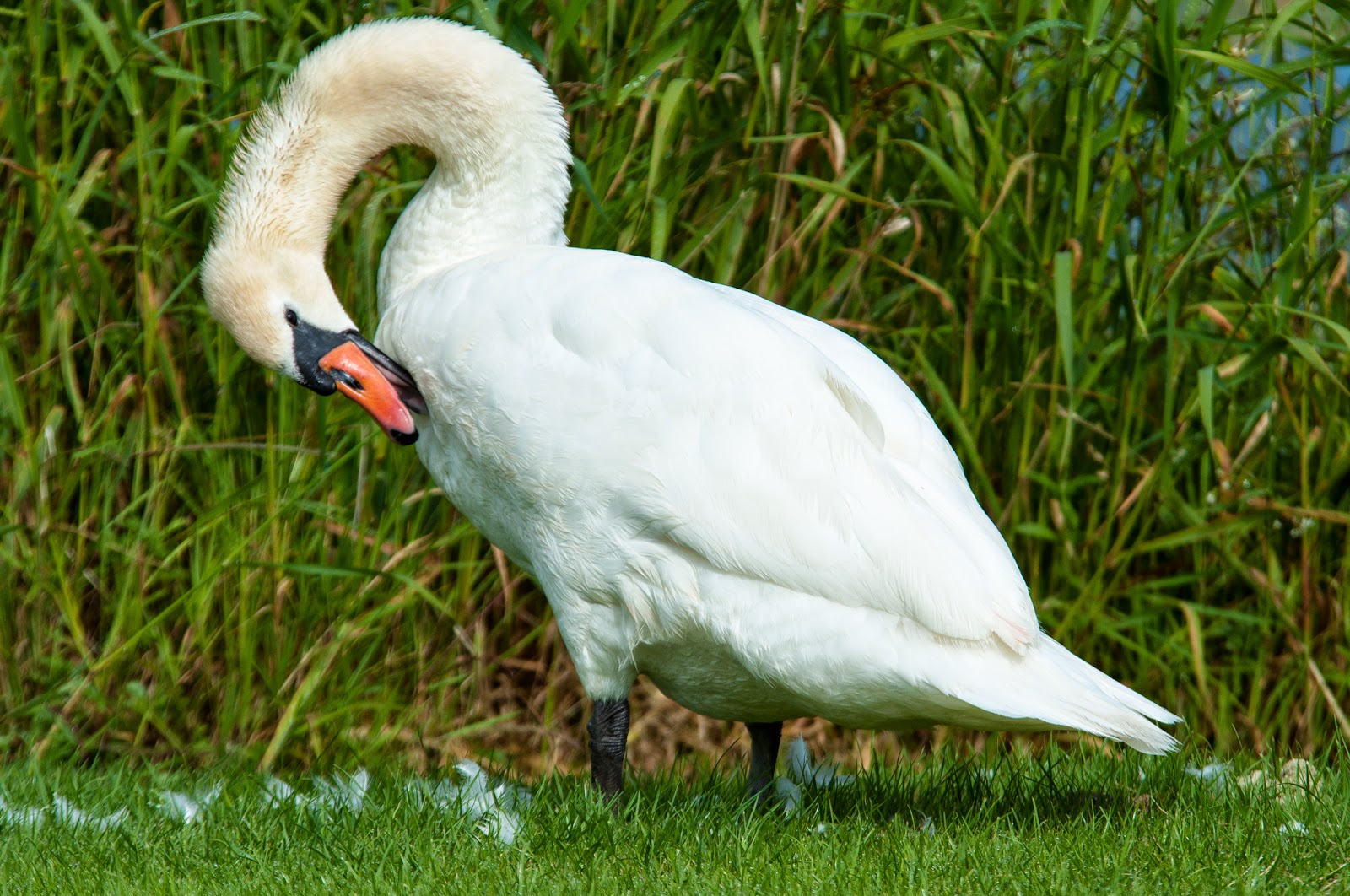 Swan at Dromoland Lough