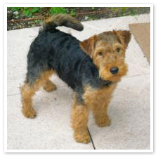 Welsh Terrier Puppies on Welsh Terrier Puppies 1 Jpg