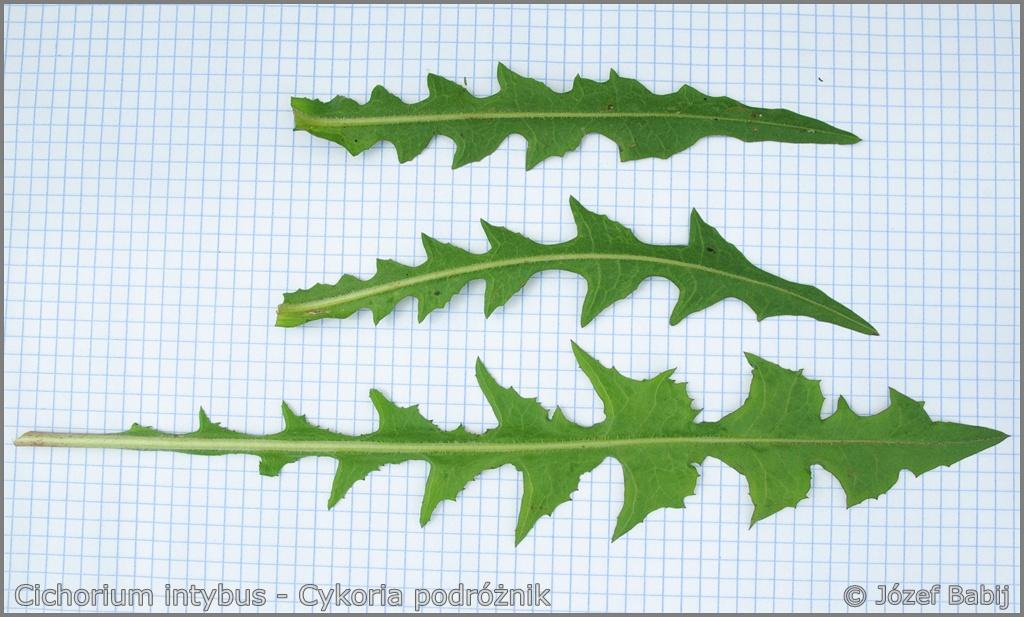 Cichorium intybus leaf from the bottom - Cykoria podróżnik liść od spodu
