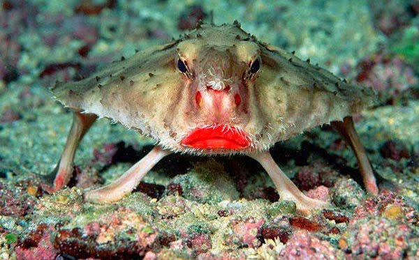 Animals You May Not Have Known Existed - Red-lipped Batfish