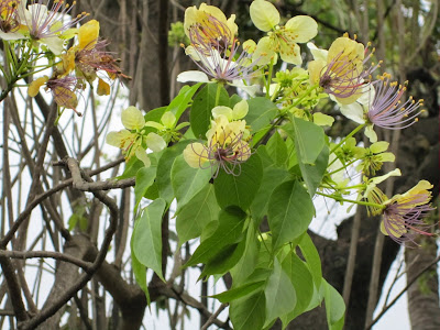 Varuna (Crataeva Nurvala) Overview, Health Benefits, Side effects