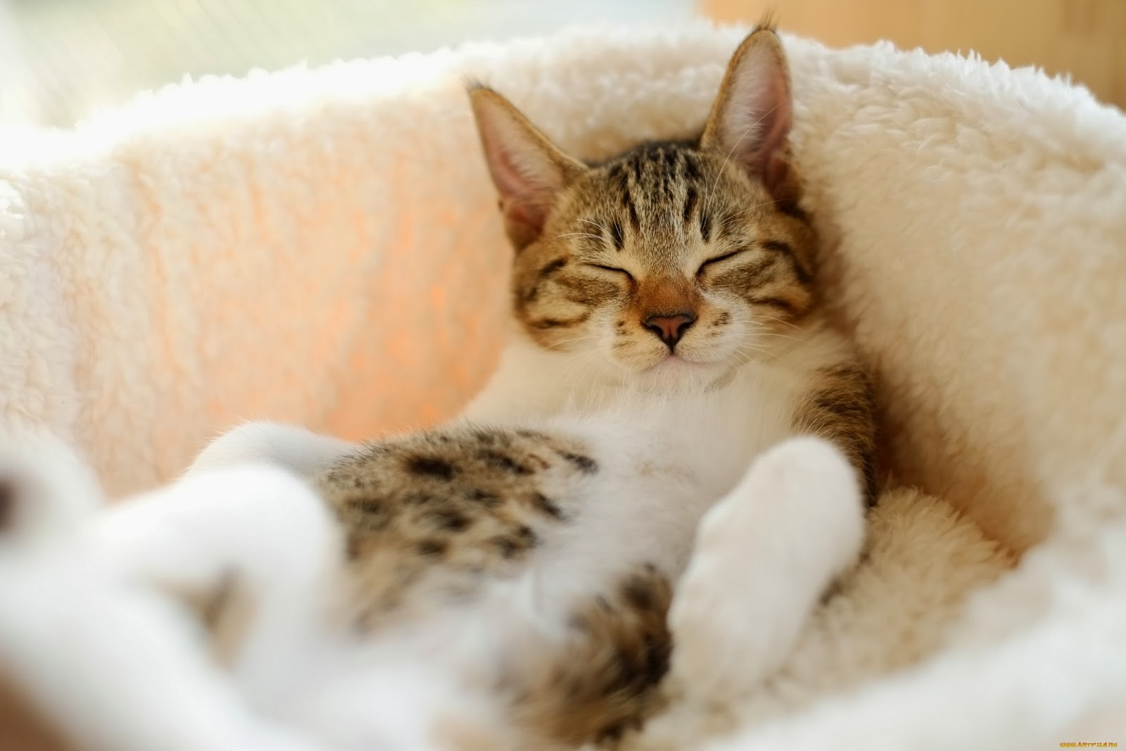 Sleeping cat wallpaper cute on pc  beautiful desktop wallpapers 2014