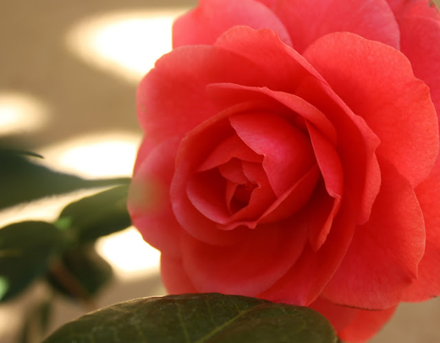 flower, camellia, perfect, pink, bloom, S. Myers, Sarah Myers, photograph, arte, art, glow