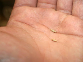 Echinops Ruthenicus (or Globe Thistle) seeds on the palm of my hand