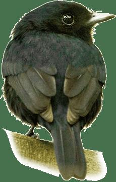 Pretinho-do-igapó | Amazonian Black-Tyrant