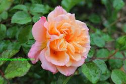 Clicca l'immagine per Rimedi naturali per curare le rose