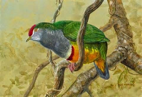 Tilopo bonito, Ptilinopus pulchellus