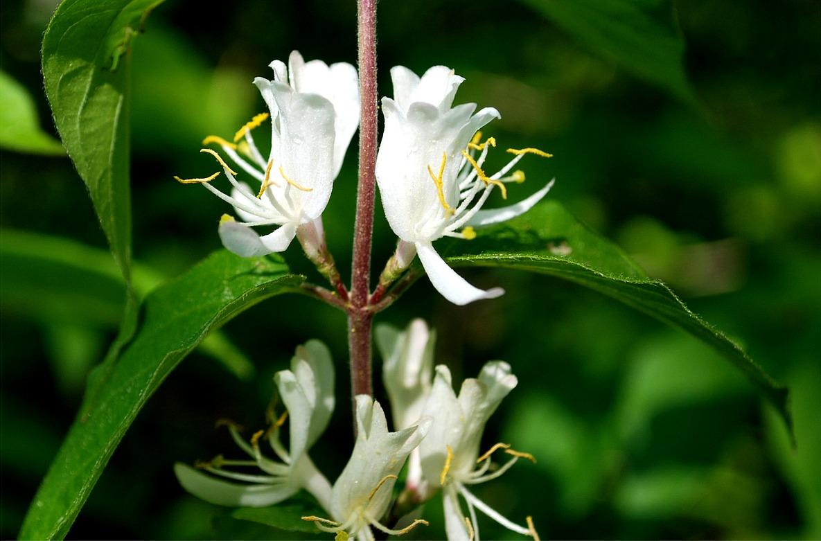 Flower Picture: Honeysuckle