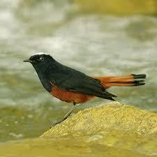 Burung Murai Batu Kalimantan ( Murai Batu Borneo ).