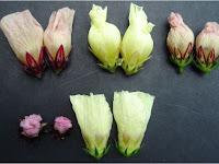 5 Manfaat Bunga Rosella Untuk Kesehatan