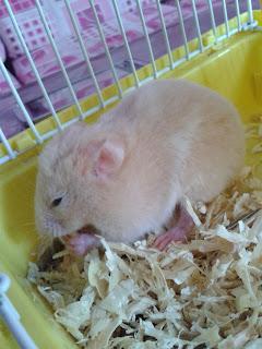 Kejam Hamster DiTembak Di Kepala