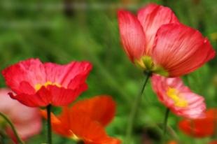 Poppy Garden Spring 2012