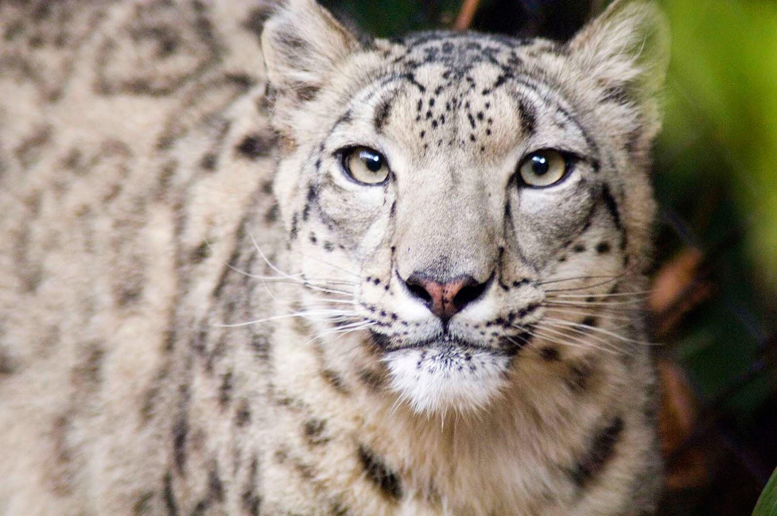 leopardo-das-neves-extinção